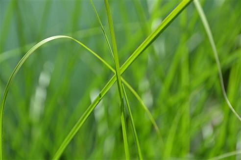 Gräserkreuzung