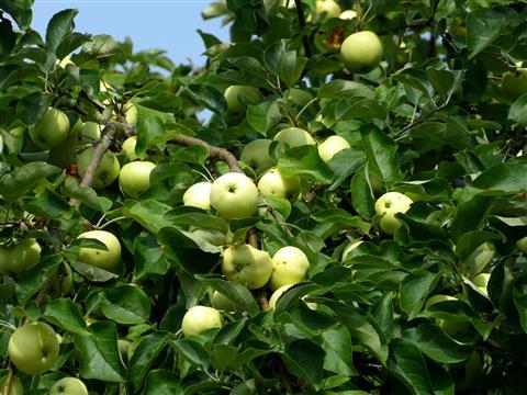 Jakobi- oder Kornäpfel - früher die ersten frischen Äpfel im Jahreslauf