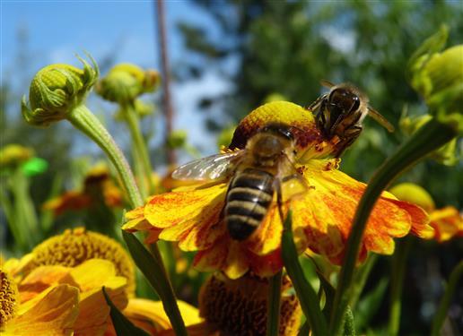 Bienen auf Sonnenbraut