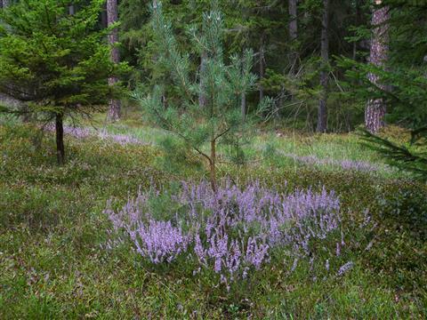 Heidekrautblüte im Kiefernwald