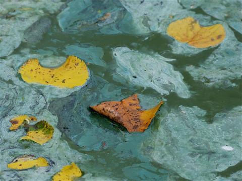 Lindenblätter in Algensoße