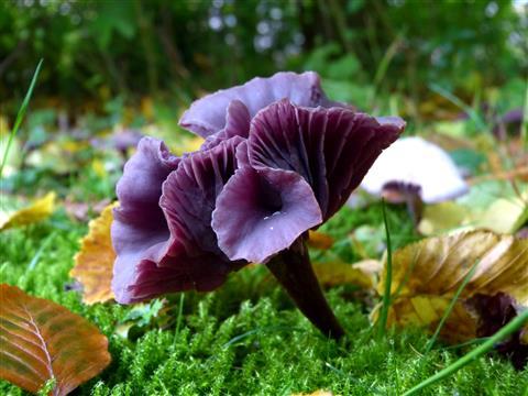ein Pilz wie eine Blume - violetter Lacktrichterling