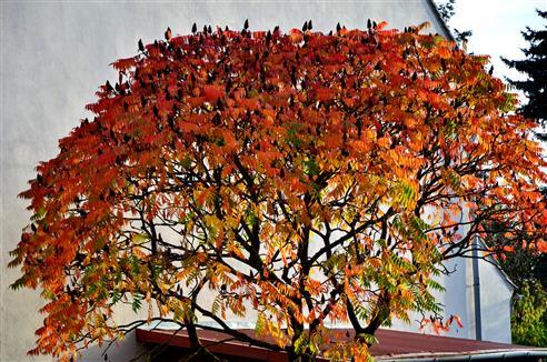 Herbstfarbener Essigbaum