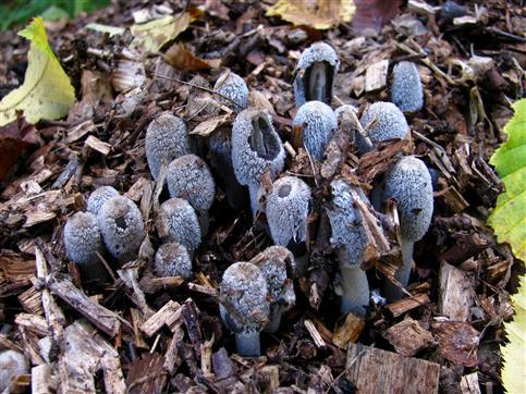 es wird kalt - Pilze mit Pelzkappen
