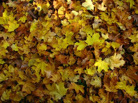 Ahornblätterteppich