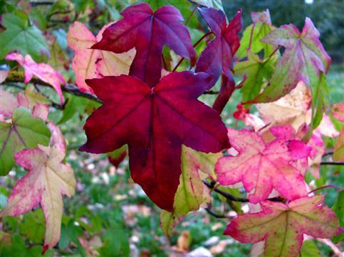 Amberbaumherbstfärbung
