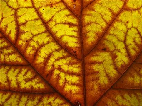 Platanenblatt herbstlich gefärbt