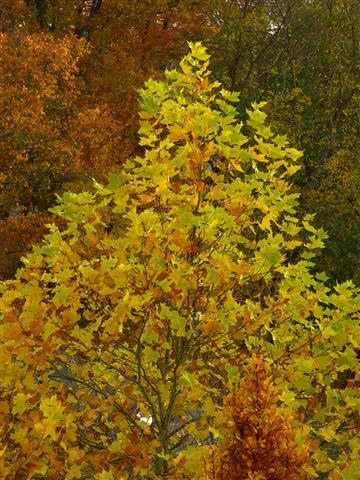 Platane-Herbstfärbung