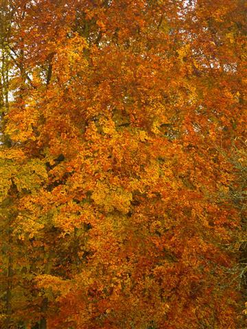 Rotbuche-Herbstfärbung
