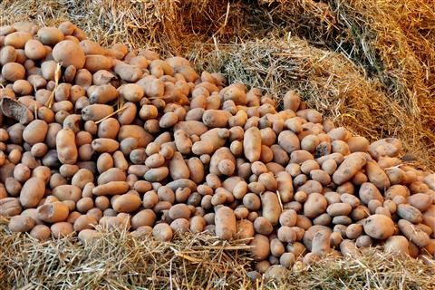 Grundnahrungsmittel Kartoffeln