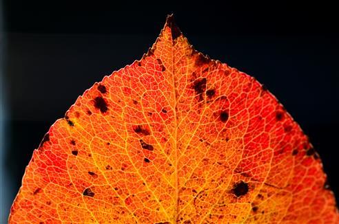 Birnenblatt im Herbstrot