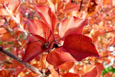 Weberknecht im roten Herbstlaub