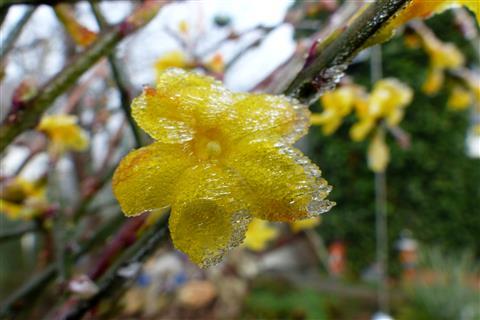 Eis-Winterjasminblüte
