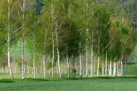 Birken in der Schweiz am Jakobsweg