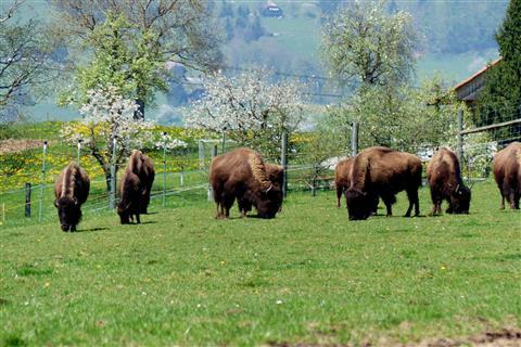 Bisonherde bei Amsoldingen Schweiz