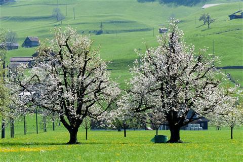 blühende Kirschbäume in der Schweiz