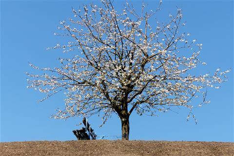 Kirschblüte in der Schweiz