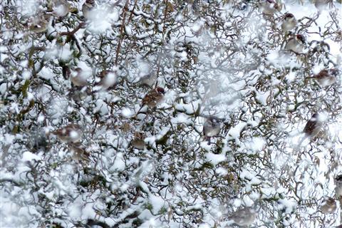 Spatzensuchbild im Schneetreiben