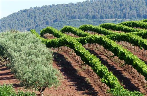Weinkreuzung neben Olivenhain