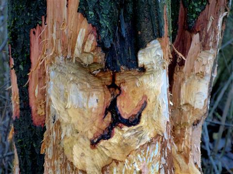Bildhauer Biber: Holzgesicht