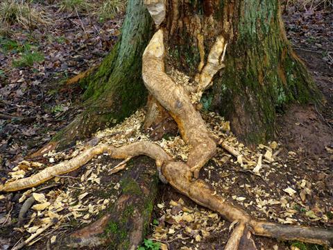 Bildhauer Biber: Efeueidechse