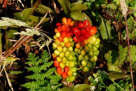 Fruchtstand vom Aronstab