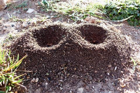 Ameisen-Trichtereingänge