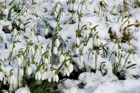 Schneeglöckchen-Glöckchen im Schnee