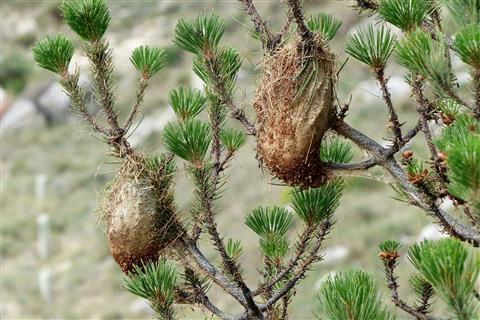 Nester des Pinienprozessionsspinners