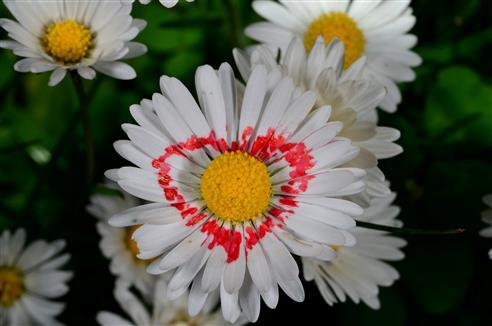 Muttertagsblütenmutation