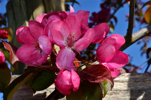 rote Apfelblüten