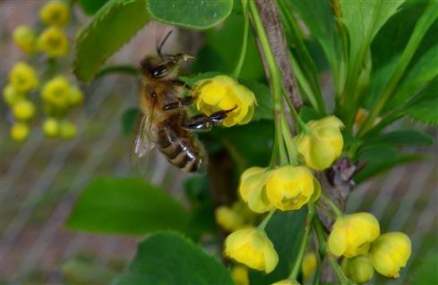Honigbiene auf gelber Berberitze