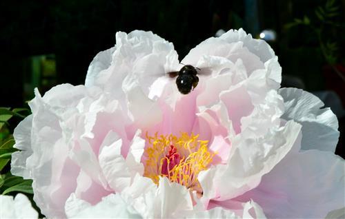 zartrosa Strauchpäonie mit schwarzer Holzbiene