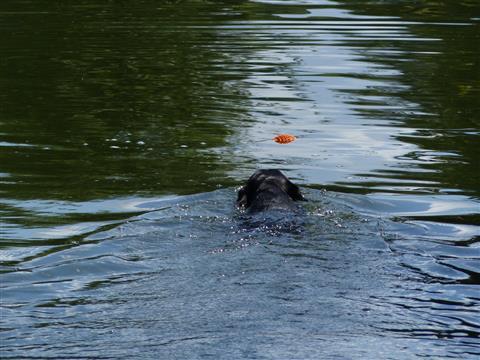 Schwimmhund