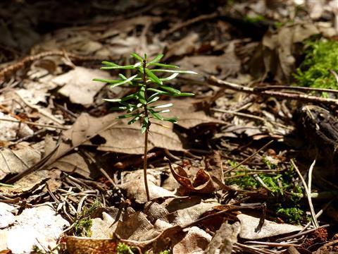 ein Tännlein steht im Walde