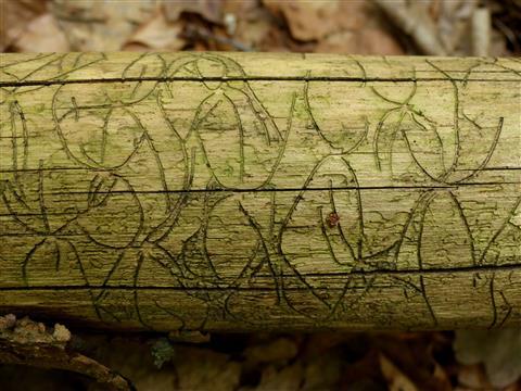 Schrift des Waldes