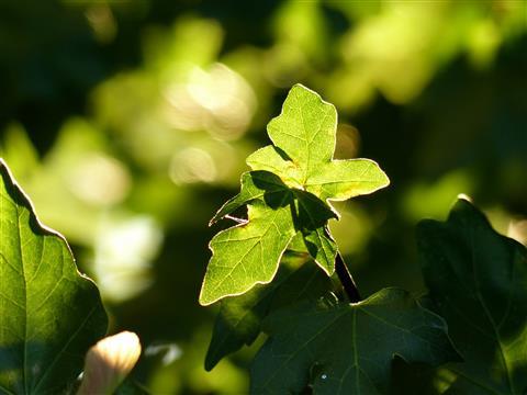 Feldahornblätter