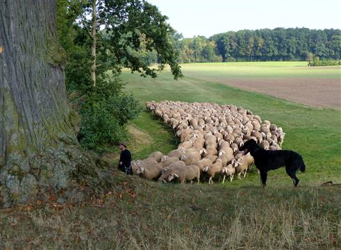 Schäfer-Herde-Hund