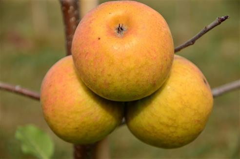 Apfel-Drillinge
