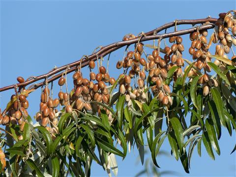 Früchte der Ölweide
