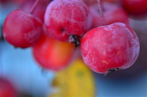 Zieräpfelchen