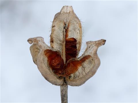 Tulpensamenstand im Januar
