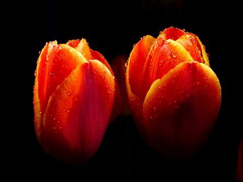 Orange Tulpen am Abend im Regen