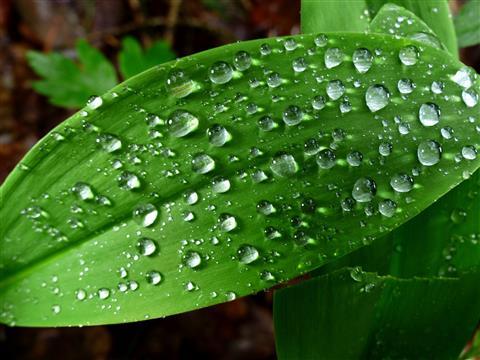 Regentropfen auf Maiglöckchenblatt