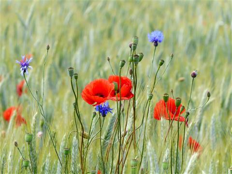 Klatschmohn und Kornblumen