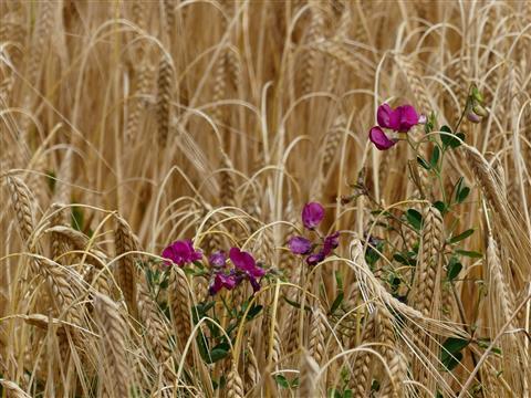 letztes Blühen im Gerstenfeld