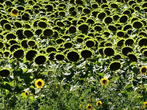reifende Sonnenblumen