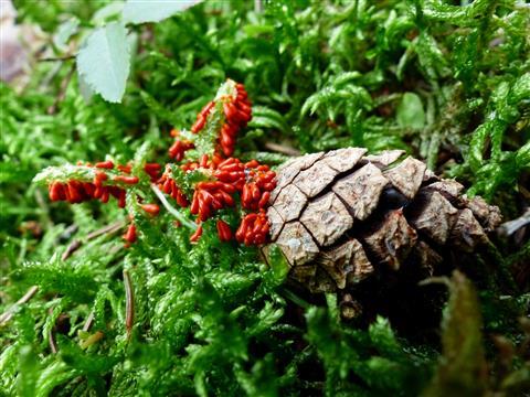 roter Schleimpilz auf Moos und Kiefernzapfen