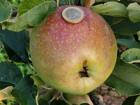 Apfel aus dem Triesdorfer Pomoretum