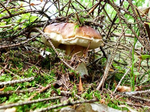 Steinpilz im Unterholz